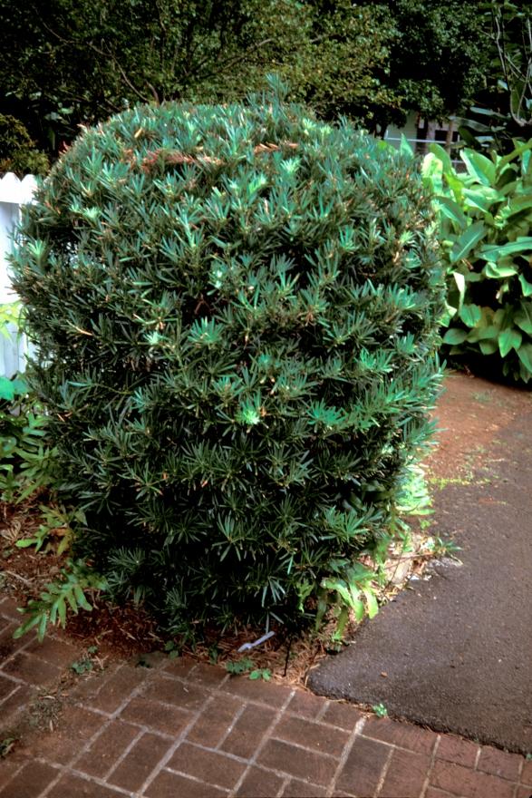 podocarpus_gracilior