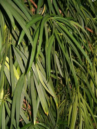 podocarpus_macrophyllus_botgardbln1105leavesb