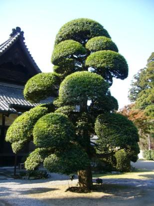 podocarpus_macrophylluskatori-cityjapan