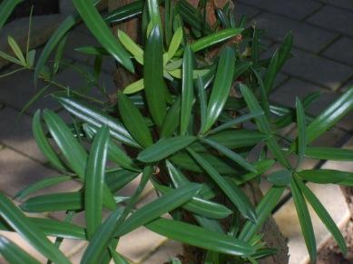 podocarpuslatifoliusfoliage