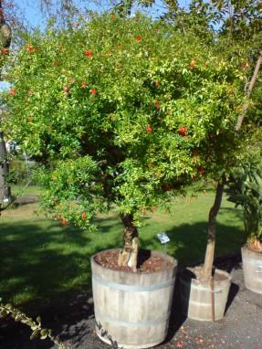 punica_granatum_var-_nana_zwerg-granatapfel-1