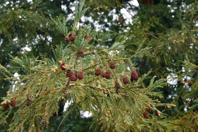 sequoia_sempervirens_foliage_cones_mount_tamalpais_2