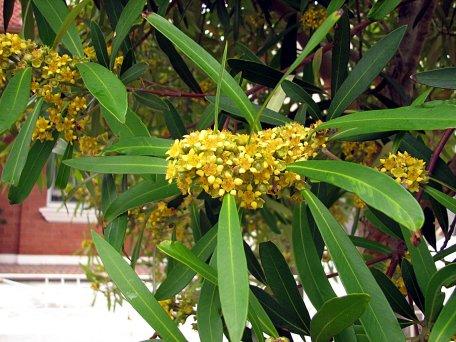 tristaniopsis_laurina-closeup