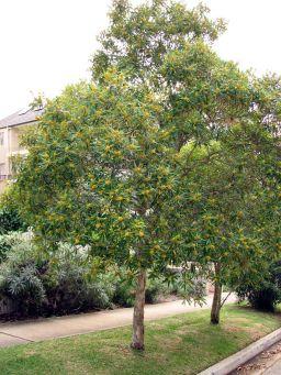 tristaniopsis_laurina-tree