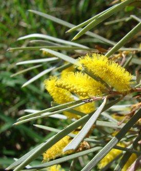 acacia_aneura_blossom