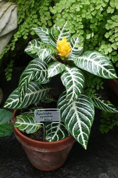 aphelandra_squarrosa_-_conservatory_of_flowers_-_san_francisco_ca_-_dsc03130