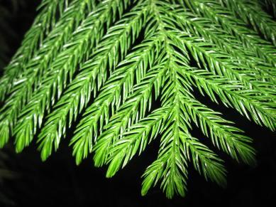 araucaria_heterophylla_leaves_01_by_line1