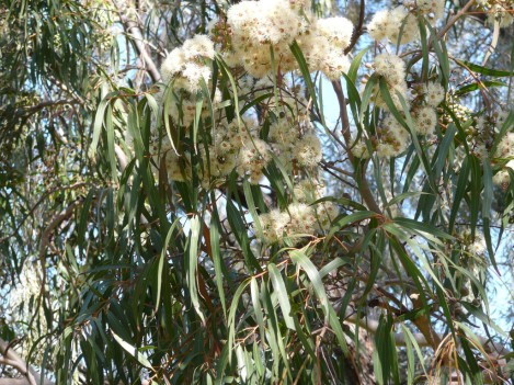 eucalyptus-citriodora2