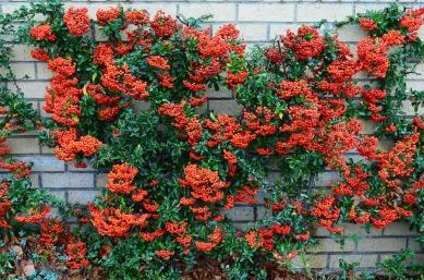 firethorn-pyracantha-berries