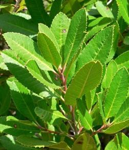 heteromeles_arbutifolia_2