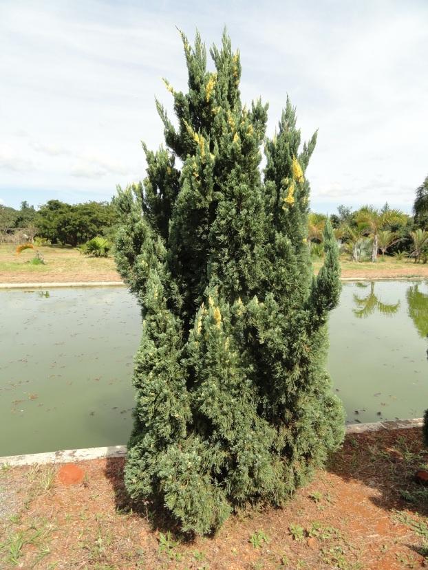 juniperus_chinensis_variegated_kaizuka_-_jardim_bota%cc%82nico_de_brasilia