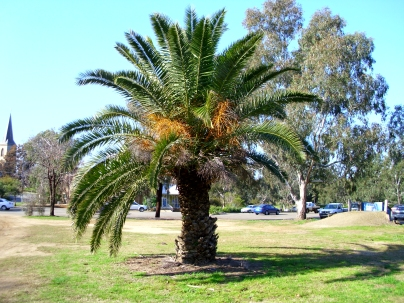 phoenix_canariensis_located_on_the_former_gas_works_site