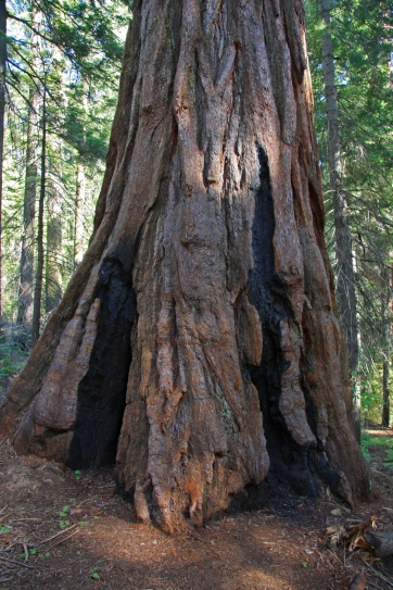 sequoia_trunk
