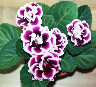 sinningia_speciosa_cultivar_01