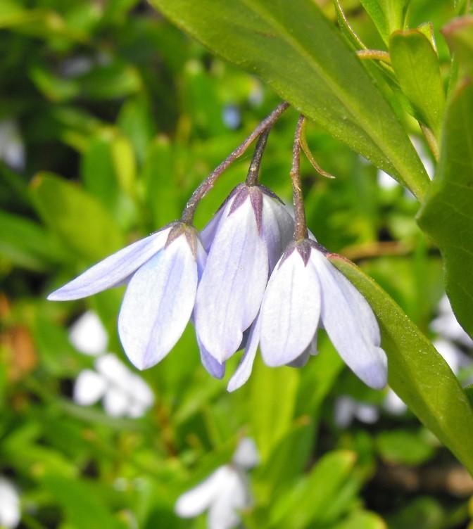 sollyaheterophylla