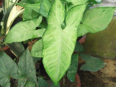 syngonium_podophyllum-bsi-yercaud-salem-india