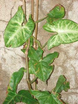 syngonium_podophyllum2