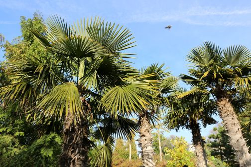 trachycarpus_fortunei_blumenga%cc%88rten_hirschstetten_wien_2014_c