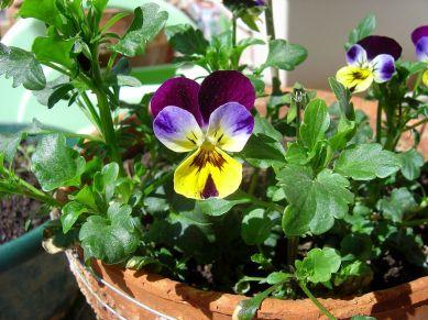 viola_tricolor_by