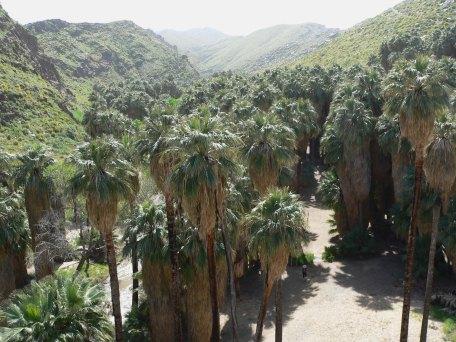 washingtonia_filifera_in_palm_canyon
