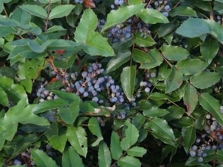 berberis-aquifolium