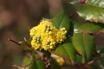 berberis_aquifolium-01_xndr