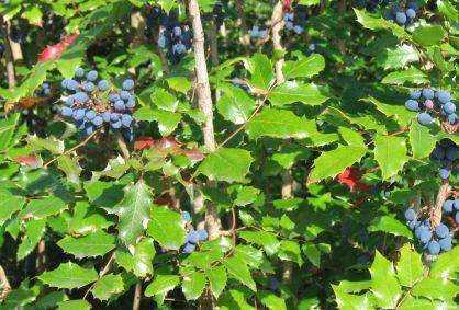 berberis_aquifolium