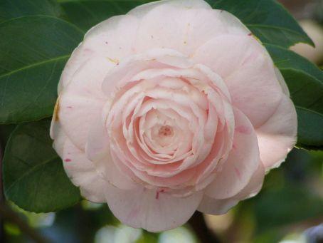 1280px-camellia_japonica_rose