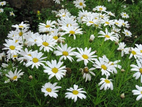 argyranthemum_frutescens_subsp-_canariae