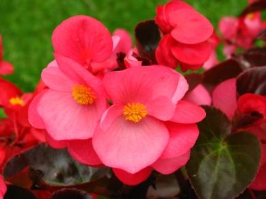 begonia_semperflorens_dark_pink_01
