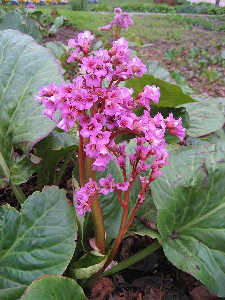 bergenia_cordifolia_inflorescens