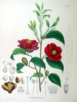 camellia_japonica_sz82
