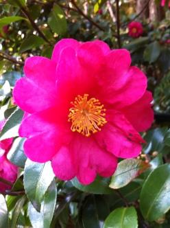 camellia_sasanqua_001