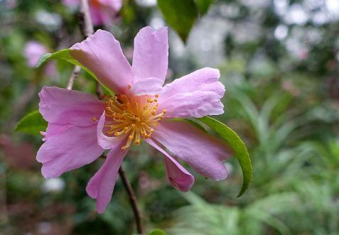 camellia_sasanqua_venus_-_flora_park_-_cologne_germany_-_dsc00486