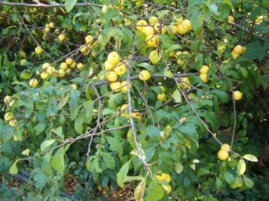 chaenomeles_japonica_habitusfruits_botgardbln0906