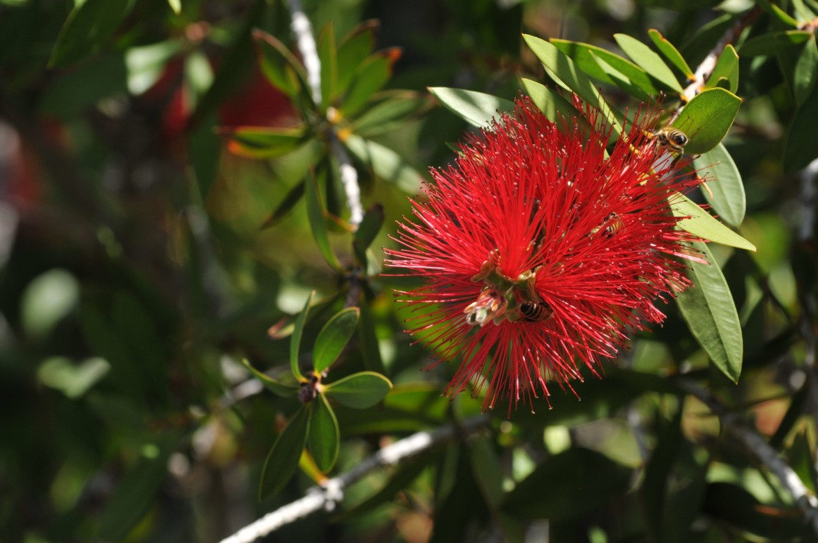 bottlebrush-plant-and-bees