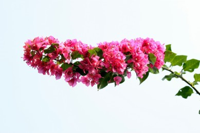 bougainvillea-flower-in-blossom