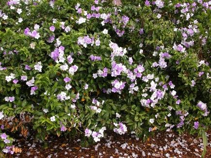 Brunfelsia_pauciflora_(carllewis)