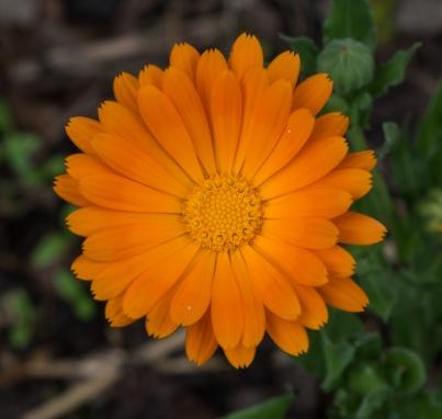 Calendula_officinalis_-_Parc_floral