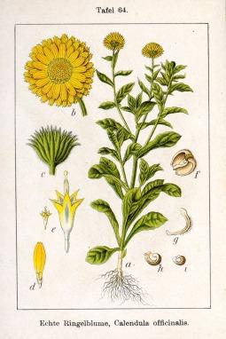 Calendula_officinalis_Sturm13064